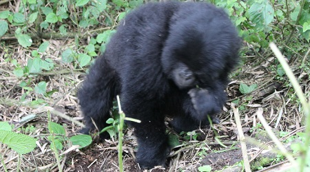 Mountain gorilla in Jungle