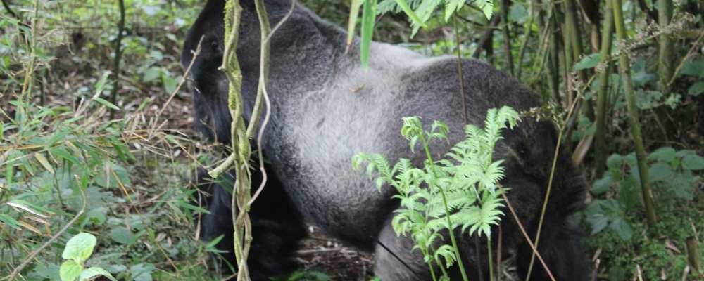Silver back in Bwindi Impenetrable National Park