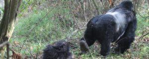 3 Days Gorilla trekking in Rwanda | Rwanda gorilla tours