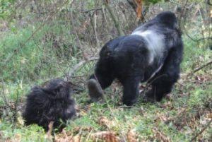 Silver back safaris in Rwanda