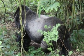 Silver backs in Rwanda