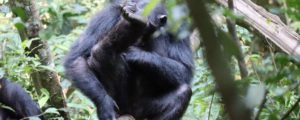 Visiting Kibale Forest National Park Uganda