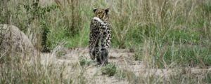 Visiting Lake Mburo National Park Leopard sighting