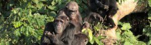 1 Day Ngamba Island Chimpanzee Safari in Uganda