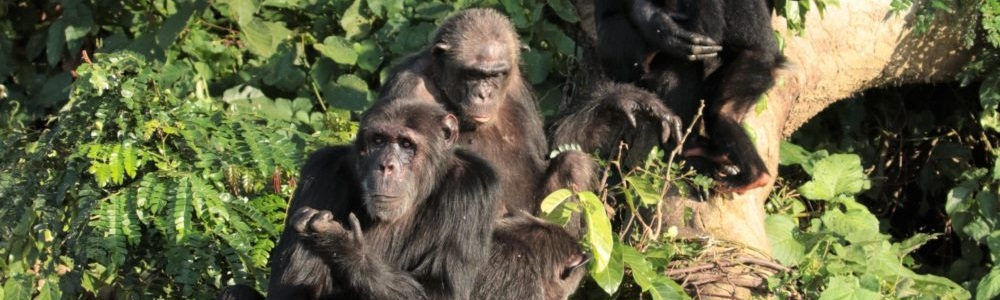 1 Day Ngamba Island Chimpanzee Safari in Uganda