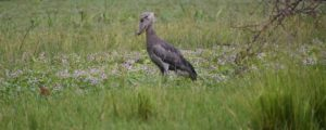 1 Day Shoebill birding in mabamba wetland