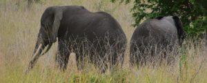 Game Drive Safaris in Toro Semuliki Wildlife Safaris