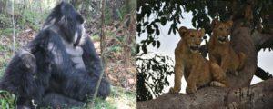 5 Days Uganda Gorilla Tour and Tree Climbing Lions