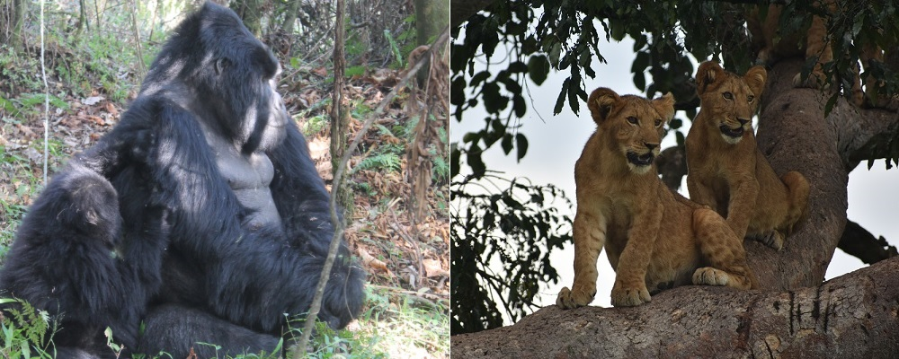 5 Days Uganda Gorilla Tour and Tree Climbing Lions | 14 Days wildlife safaris in Uganda and Rwanda