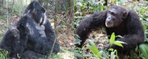 8 Days Primate holiday in Uganda