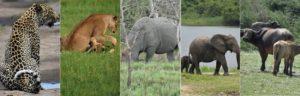 Africa Big Five Uganda Safaris Experience
