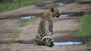 Leopard in Murchison Falls NP