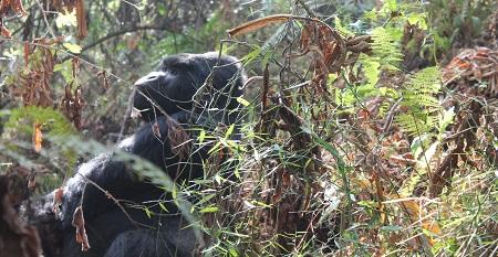 1 Day Gorilla trekking safaris Rwanda