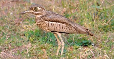 14 Days Birding safaris in Uganda