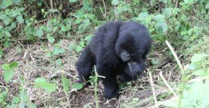 2 Days gorilla trekking safaris Rwanda