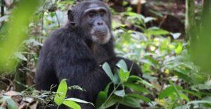 3 Days Chimpanzee trekking Uganda
