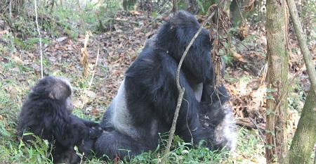 3 Days Rwanda Bwindi gorilla safari