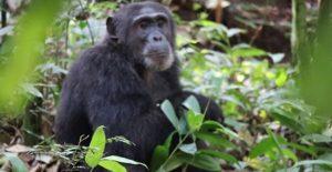 4 Days Chimpanzee trekking in Rwanda | Chimpanzee trekking nyungwe forest | Rwanda chimpanzee safaris