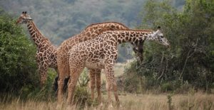 6 Days Rwanda wildlife safaris | Rwanda safaris