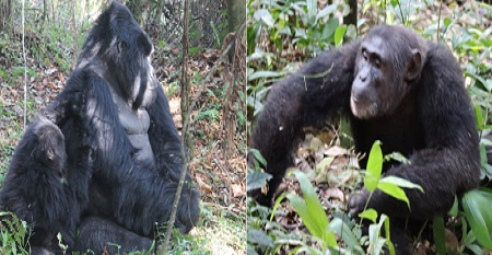 8 Days Primate holiday safaris in Uganda