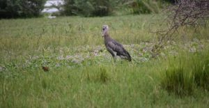 9 Days Birding tours in Uganda