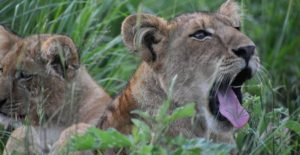 9 Days Uganda Safaris in