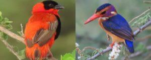 7 Days Birding watching safaris in Uganda