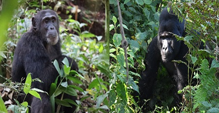 Gorilla and chimpanzee trekking safaris in Rwanda