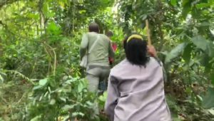 Gorilla trekking safari walking poles