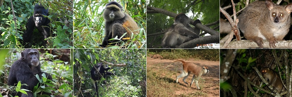 Visit Uganda the Primate World