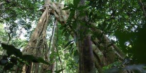 Chimpanzee safari in Uganda